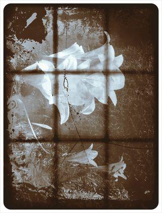 Liliesstep7-1974withglasshole