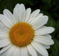 DaisyoriginalcroppedIMG_4991