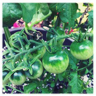Greentomatoeswhitebkgrd